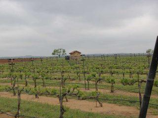 vineyard at Fredericksburg TX wineries is one of the romantic getaways in Texas