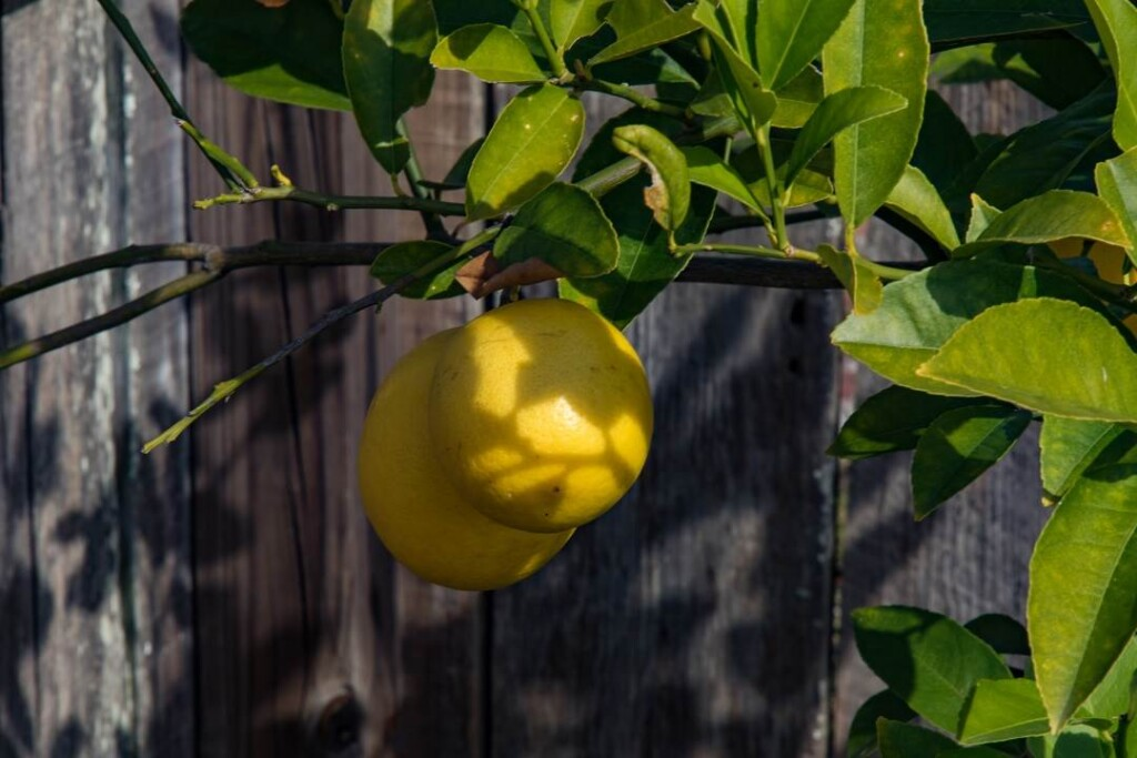 Close up of 2 lemons growing on a lemon tree