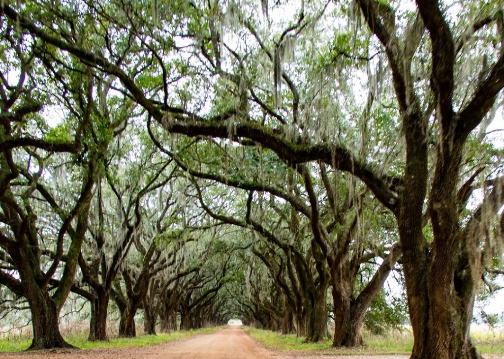 road intersecting 2 rows of beautiful old oak trees