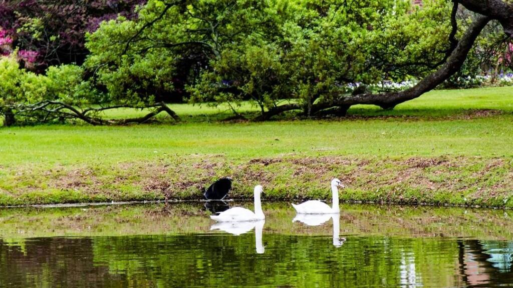 HH_swans