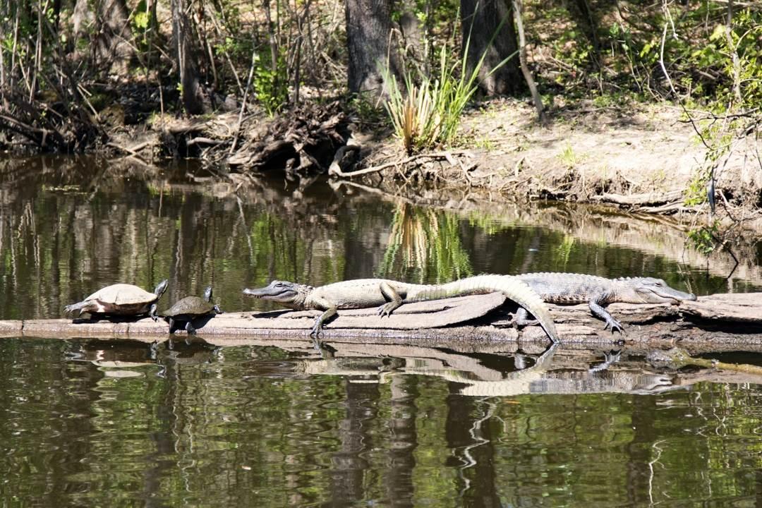 alligator and turtles on log