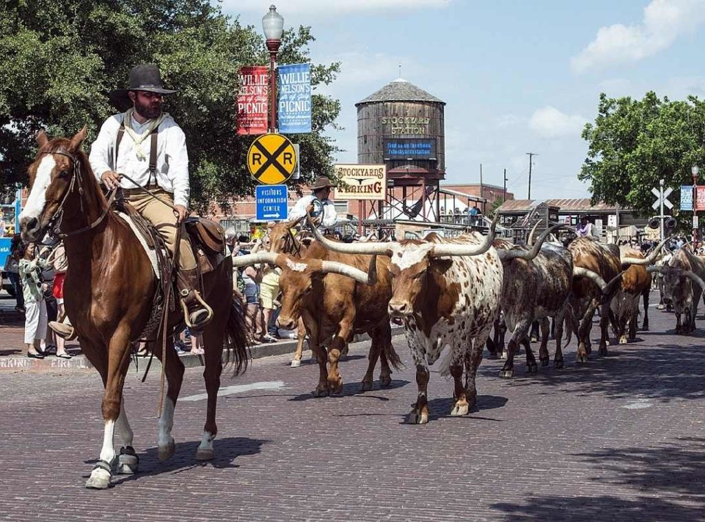 cows walking in the stockyards-Fort Worth date night