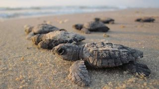 baby sea turtles in the sand