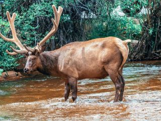 This elk was found by the Estes Park River Walk, one of the many things to do in Estes Park Colorado