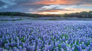 Texas bluebonnets-Texas bucket list