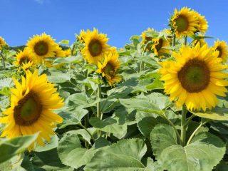 sunflowers Texas