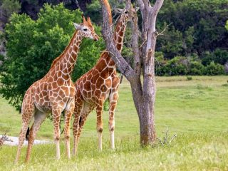 giraffes at Fossil Rim Wildlife Center-one of the things to do in Glen Rose TX