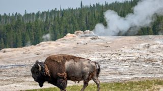 buffalo in front of Old Fairthful-3 day Yellowstone itinerary