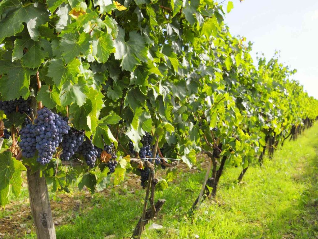 grapes on grapevines in a vineyard